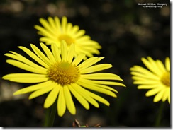 tb_mecsek_yellow_flower